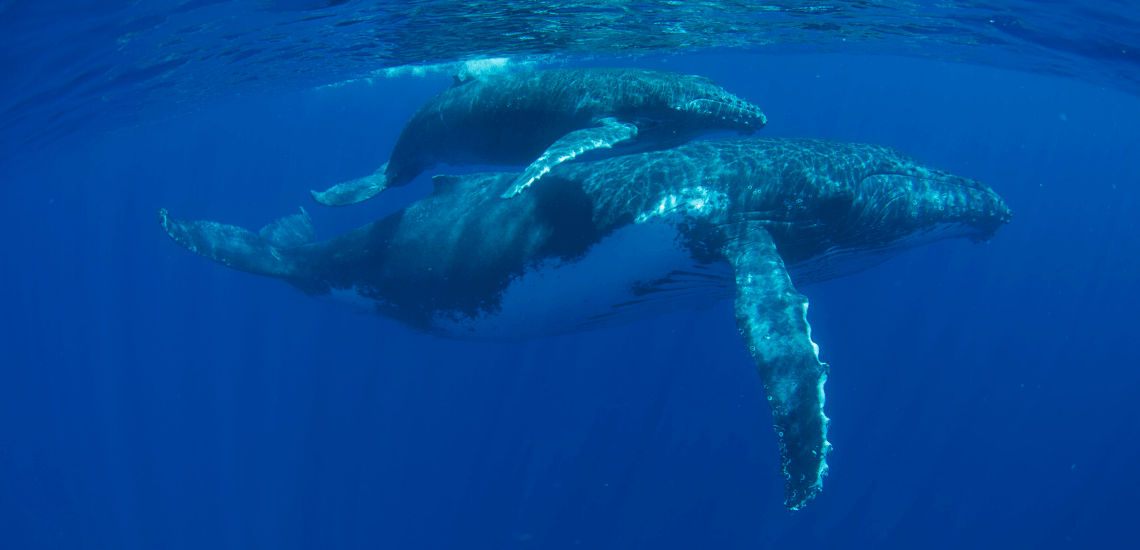 https://tahititourisme.uk/wp-content/uploads/2018/03/mooreaactivitiescenterwhaleswatching_1140x550-min.png