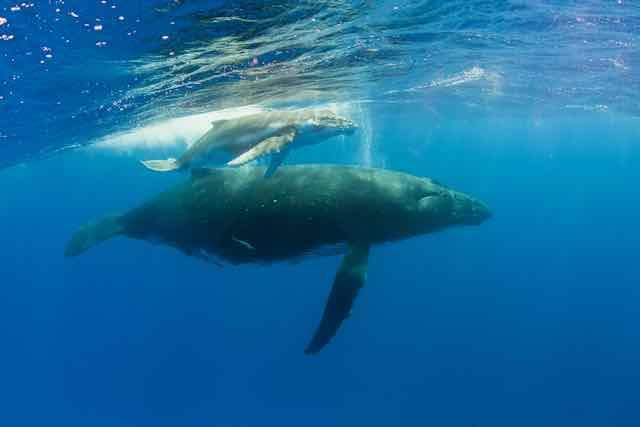 https://tahititourisme.uk/wp-content/uploads/2019/04/Bora-Bora-Humpback-Whales.jpeg