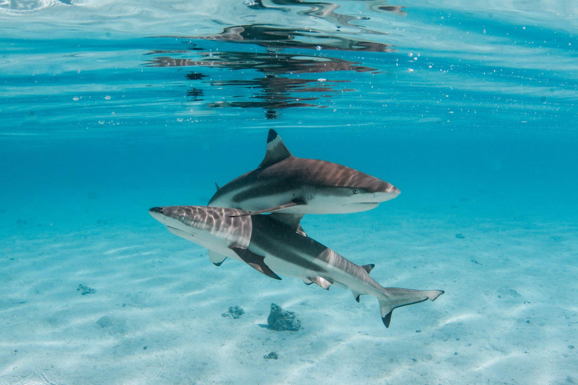 https://tahititourisme.uk/wp-content/uploads/2020/06/deux-magnifiques-requins.jpg